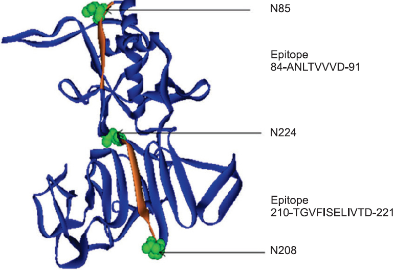 Figure 4: N-glycosylation sites marked on predicted KFDV NS1 structure: the KFDV NS1 protein fold shown in Blue. Exposed epitopes (orange) with N-glycosylation sites indicated in space fill mode with Green colour.