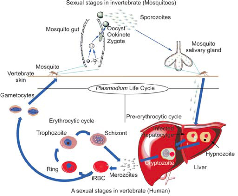 Figure 1: Life cycle of malaria parasite in vertebrate and invertebrate hosts.