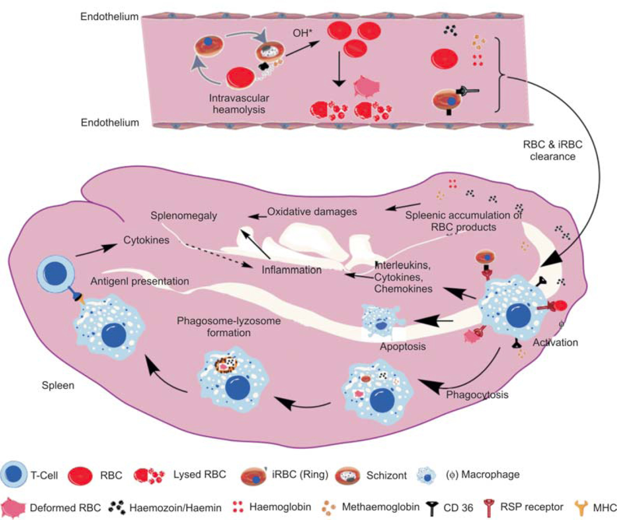 Figure 5: Malaria infection disturbs spleen function and causes splenomegaly. The parasite propagation within blood induces RBC lysis and accumulation of toxic by-products. The enhanced haemolysis, RBC clearance, red pulp macrophage activation, inflammation and oxidative damages together lead to the splenomegaly in malaria infected host.